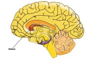 Localização do Striatum no cérebro